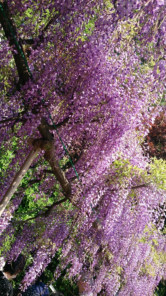 京都浄水場藤棚