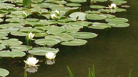 平安神宮の睡蓮