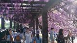 京都藤棚一般公開